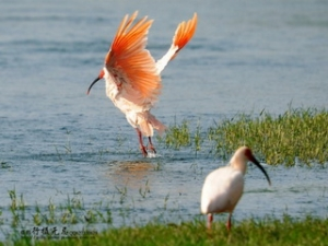 Crested Ibis 1